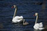 Mute swans - Cygnus olor - Cisne comun - Cigne mut
