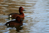 Ferruginous ducks - Aythya niroca - Porron pardo - Morell Xocolater