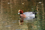 Male Eurasian Wigeon - Anas penelope - Anade silbon - Anec xiulaire