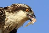 Osprey eating a fish - Pandiona haliaetus - Águila pescadora - Àguila peixatera