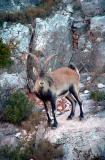 Male Spanish Ibex - Cabra hispanica - Macho de Cabra Montés - Mascle de Cabra Salvatge