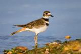 Kildeer - Charadrius vociferus - Embalse Cecebre - Coruña - Galicia