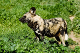 Africa Wild Dog with Nikon  D3