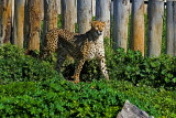 Cheetah with Nikon D3