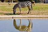 Zebra with Nikon D3