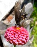 Butterfly in Cris's back yard