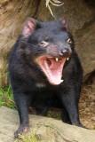 Tasmanian Devils yawn a lot