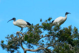 Ibis in trees