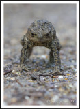 Common Toad making himself big!!!