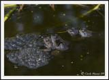 Common frogs mating -  Rana temporaria