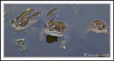 Common frogs -  Rana temporaria