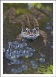 Common frog among frog spawn -  Rana temporaria