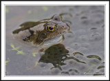 Common frog in frog spawn-  Rana temporaria