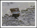 Male Common frog in frog spawn -  Rana temporaria