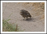 Little owl chick- Athene noctua