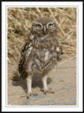 Little owl chick.- Athene noctua