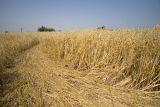 Barley field and tramline!