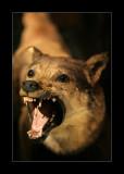 Loup taxidermisé