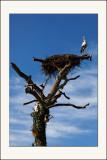 Maître Cigogne, sur un arbre perché, tenait en son  bec un munster baraqué ...