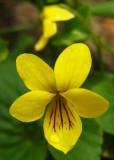 pensée bifloreViola biflora