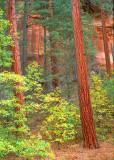 Ponderosa Pines, West Fork, Oak Creek Canyon, AZ