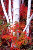 Birch boles and maples, Gorham, NH