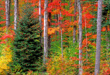 Maples and balsam firs, Kancamagus Highway, NH