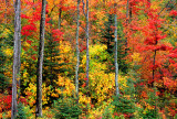Deciduous forest, Franconia Notch,  NH