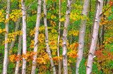 Birches and maples, Bartlett, NH