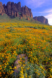 (DES 34) Brittlebush and poppies, Lost Dutchman State Park, AZ