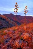 (DES 37) Agaves on Mingus Mountain near Jerome, AZ