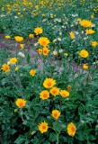 Desert sunflowers, Anza Borrego State Park, CA