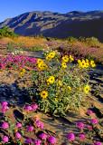 Sand verbena and dune sunflowers, Anza Borrego Desert State Park, CA