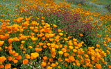 (DES 48) Poppies, popcorn flowers, and four o'clocks, Lake Elsinore, CA