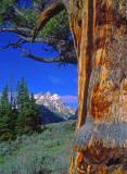 Limber pine tree, Jackson Hole, Grand Teton National Park, WY