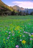 Alpine meadow, Logan Pass , Glacier National Park, MT