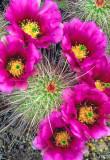 (C13) Hedgehog cactus, Apache Trail, AZ