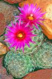 (DES 52) Beehive cactus, Mingus Mountain, Cottonwood, AZ