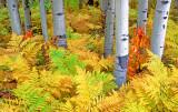 Ferns and aspen boles, McClure Pass, CO