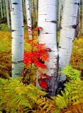 Ash, ferns, and aspen boles, McClure Pass, CO