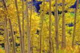 Backlit aspens, Maroon Valley, Aspen, CO