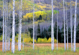 Aspen boles, Maroon Valley, Aspen, CO