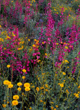 Parry's penstemon, desert marigolds, and brittlebush, Maricopa County, AZ