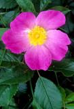 Prairie Rose, Coyne Prairie, Dade County, MO