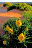 (DES8) Sand Mule Ears, Coral Pink Sand Dunes S. P.,  UT