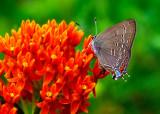 (PR22) Hairstreak butterfly, IL
