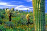 (DES19) Chollas, poppies and saguaros, Lake Pleasant, AZ