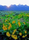 (CR37) Arrow-leaf Balsamroot, Grand Teton National Park, WY