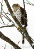 Immature Cooper's Hawk at Bald Eagle State Park, PA