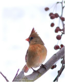 Female Northern Cardinal is a year 'round resident of PA.